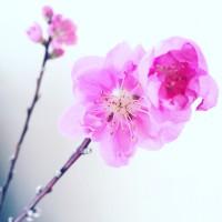 ひなまつりには桃の花を飾ろう!ピンクの花が女子ゴコロをくすぐる♪の画像