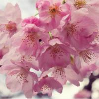 いよいよ桜の花咲く季節!桜の上手な撮影テクを集めてみましたの画像