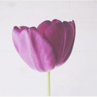 愛らしく凛とした姿で花壇を彩る、チューリップの魅力とは!?の画像