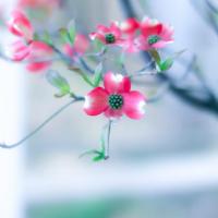 「君と好きな人が百年続きますように……」。ハナミズキはどんな花? 込められた想いとは!?の画像