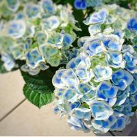初心者にやさしいガーデニングのキホン(7)カーネーションや紫陽花の鉢モノ、上手に育てる方法は?の画像