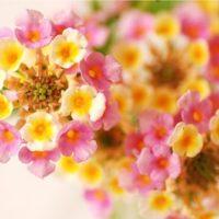 まるでアート! 花火みたいな、金平糖のような!? 不思議な花「ランタナ」の魅力!の画像