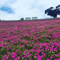 一面ピンク色の花畑に会いに、マザー牧場へ行ってきました!の画像