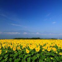 プチトリップで絶景を。青空と花のコントラストが眩しい、関東近郊の「夏の花畑」7選!の画像
