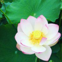 凛としていて神秘的な夏の花。蓮を愛でに「観蓮会」へ出かけてきました。の画像