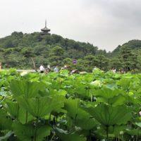 今が見ごろ!横浜・三溪園の『早朝観蓮会』に行ってきました!!の画像
