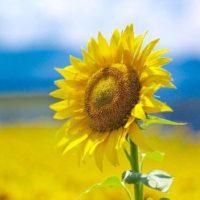 太陽に向かって元気に咲く、黄色いヒマワリがまぶしい季節!の画像