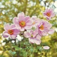 秋のガーデンを彩ってくれる、これから楽しめる「秋の花」10選の画像