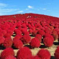 秋の連休に出かけたい、秋の花畑7選!<関東近郊編>の画像