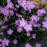 美しい花、なでしこの育て方をご紹介!の画像