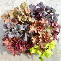 旬の寄せ植えには欠かせない! 秋色が美しいカラーリーフの魅力とは?の画像