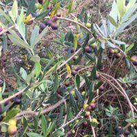 オリーブの肥料は与える時期で使用量が異なる!の画像