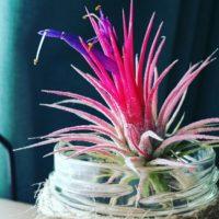 奇妙な花を咲かせるエアプランツのご紹介!の画像