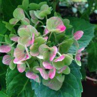 紫陽花の花の育て方と秘密をご紹介!の画像