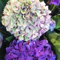 アジサイを綺麗に咲かせるための肥料の話の画像