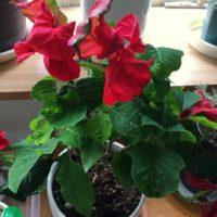 お手入れで変わるポインセチアの花の育て方!の画像