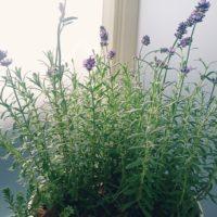 綺麗な花を咲かせるラベンダーについてご紹介の画像