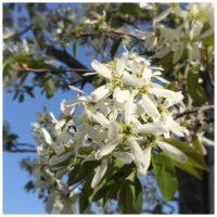 かわいい花を咲かせるジューンベリーの育て方についてご紹介の画像