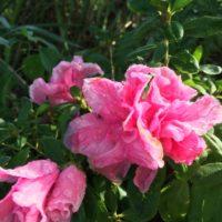 豪華な花を咲かせるアザレアの育て方についてご紹介の画像