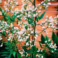白い花も綺麗!南天のご紹介の画像