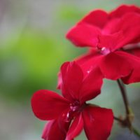 花びら5枚一組の花を様々な色が彩るゼラニウムの画像