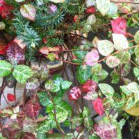 花のような葉色が特徴のハツユキカズラの画像