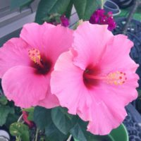南国に咲く花、ハイビスカス!その魅力をご紹介!の画像