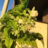 綺麗な花には棘がある?実はバラ科の植物ラズベリーの画像