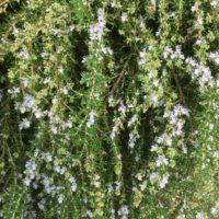 ローズマリーの肥料・水やりはここに注意!の画像