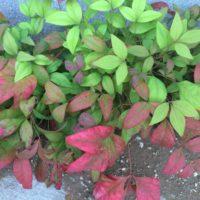 秋には紅葉もするオタフクナンテンの花言葉をご紹介の画像