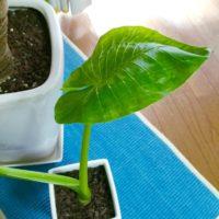 観葉植物としても人気のクワズイモの水やりの仕方をご紹介!の画像