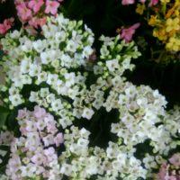 色鮮やかな花を咲かせるカランコエの水やりの仕方についてご紹介の画像