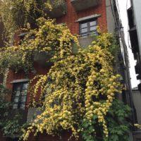 つるにたくさんの花を咲かせるモッコウバラの肥料についての画像