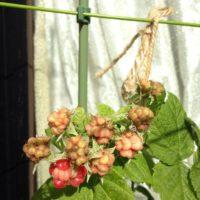 肥料はいつ与えればいい?ラズベリーの栽培方法の画像