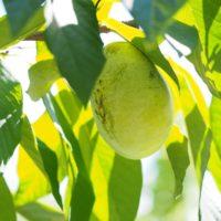 肥料などに気をつけて美味しいポポーを育てよう!の画像