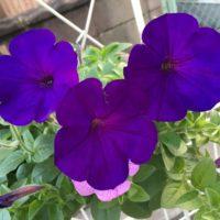 ペチュニアの開花時期や基本的な育て方の画像