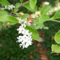 生け垣に人気!シルバープリペットの花の画像