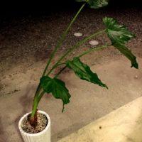 水やり、肥料、これでOK!クワズイモを育てよう!の画像