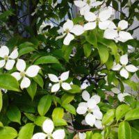 常緑ヤマボウシに花を咲かせよう!の画像