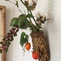 ふんわりもこもこ!綿花を育てよう!の画像