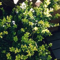 輝くような花を咲かせるキンメツゲを育ててみよう!の画像