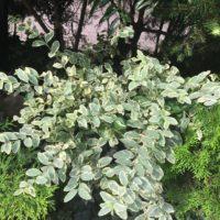 シルバープリペットの肥料や害虫の問題についての画像