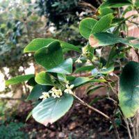 銀木犀の花を綺麗に咲かせるための育て方の画像