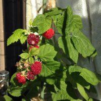 自家栽培にうってつけのラズベリー棚!の画像