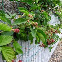 フェンスを活用してラズベリーを育てよう!の画像