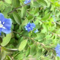 肥料がポイント!アメリカンブルーの育て方の画像