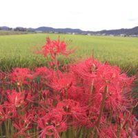 彼岸花を上手に育てる方法をご紹介!肥料などに注意!の画像