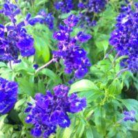 ラベンダーに似た花!ブルーサルビアの育て方の画像