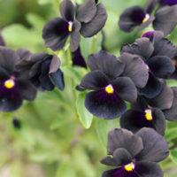 黒は不思議と人を魅了する!?深い色味でシックな黒い花・多肉植物8選の画像