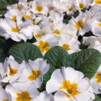 ポップでかわいい花!プリムラ・ジュリアンに胸きゅん♡の画像